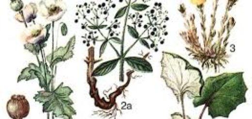 Витаминоносные растения